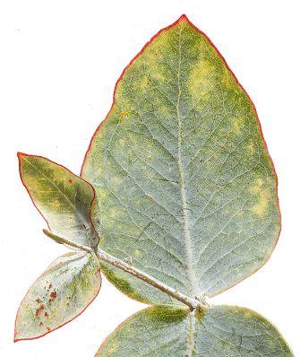 gigapixel image eucalyptus leaf