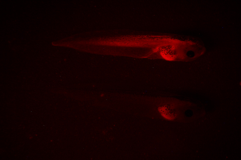 NIGHTSEA - Low cost, affordable, inexpensive fluorescence for any stereomicroscope